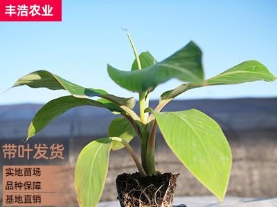 广西香蕉苗 香蕉 香蕉批发市场