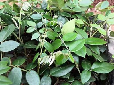 广西山豆根苗批发 供应山豆根苗价格 山豆根种植