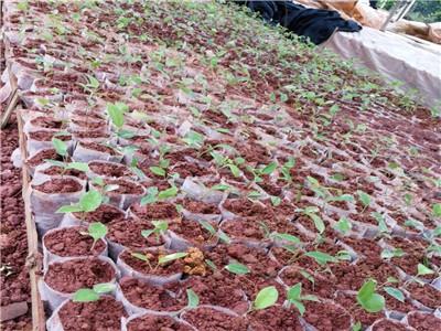 广西土茯苓 供应土茯苓苗价格 新鲜土茯苓苗