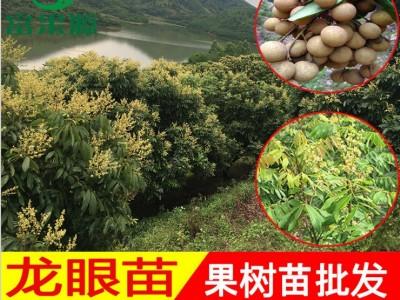 石硖四季龙眼树苗 嫁接苗南方种植 当年结果桂圆无核 带土带叶盆栽