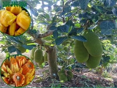 马来西亚一号 木菠萝蜜苗树苗 嫁接当年结果 广西农产品基地