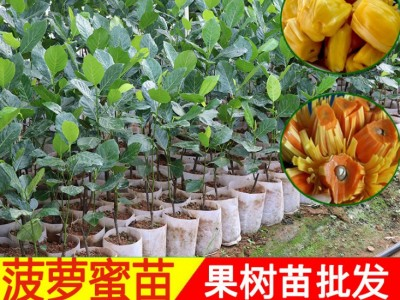 马来西亚一号 木菠萝蜜苗树苗 嫁接当年结果 基地批量直销