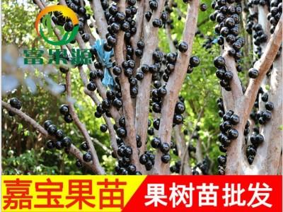 苗圃批发 台湾嘉宝果树苗树 葡萄苗 盆栽地栽抗寒