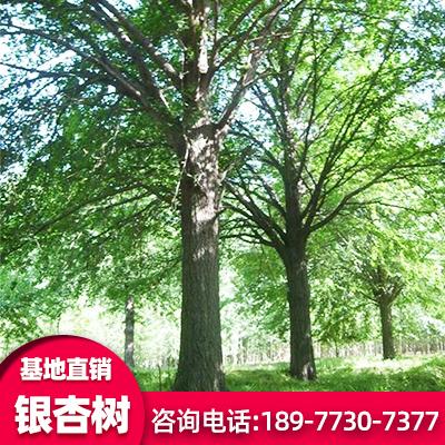 广西正宏银杏 精品银杏树厂家 20公分银杏树