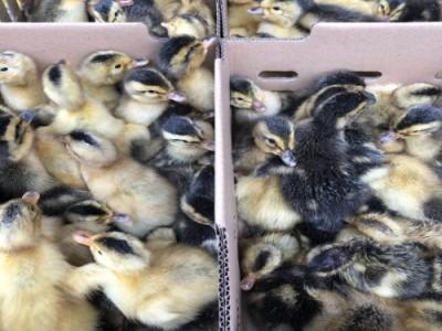 广西大麻鸭苗出售 供应绿头杂交鸭苗价格 来宾麻鸭苗孵化场