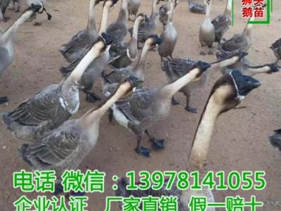 云南鹅苗厂家 胜超禽业鹅苗 厂家直销差价鹅苗