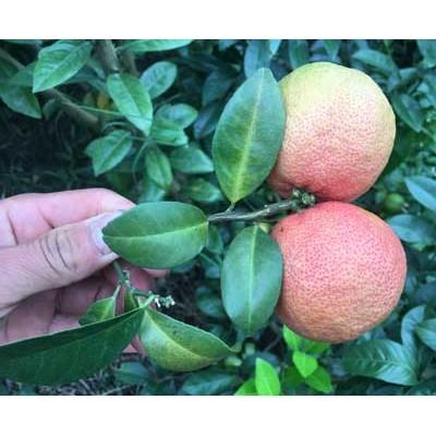 富果源 红肉柠檬苗 青皮红肉柠檬苗 盆栽地栽 四季种植当年结果 柠檬树苗