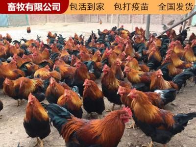 广西鸡苗 鸡苗养殖场 供应鸡苗厂家