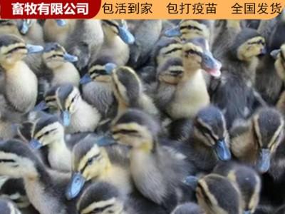 广西鸭苗 广西南宁厂家供应 广西鸭苗价格