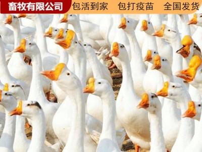广西鹅苗价格 厂家供应优质鹅苗 现货批发厂家直销 广西鹅苗孵化场