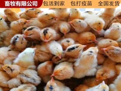 广西鸡苗 鸡苗批发价格 长期供应各种鸡苗