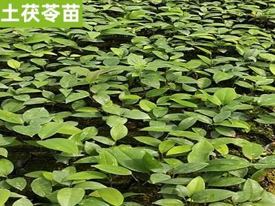 土茯苓苗 广西土茯苓批发 提供土茯苓种植栽培技术