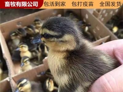 广西鹅苗 广西家禽苗厂家直销 鸡鸭鹅苗批发