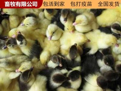 广西鸭苗批发 鸭苗价格 养殖场直销鸭苗 价格优惠