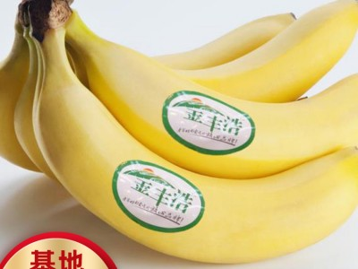 广西粉蕉苗 香蕉批发价格 粉蕉苗