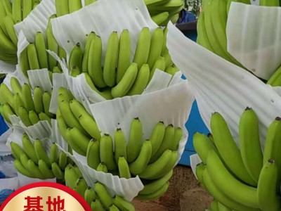 四川香蕉苗价格 丰浩农业基地香蕉批发 优惠直发