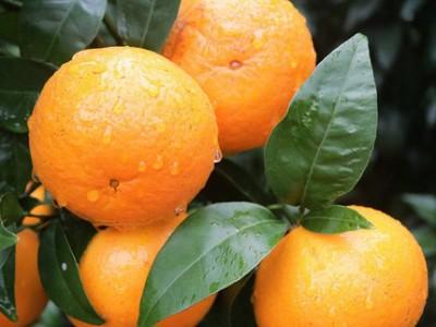 广西沃柑批发 薄橘子新鲜水果 沃柑种植基地