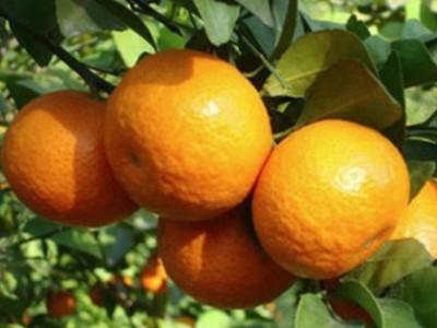 广西砂糖橘 薄橘子 当季新鲜水果 砂糖橘种植基地