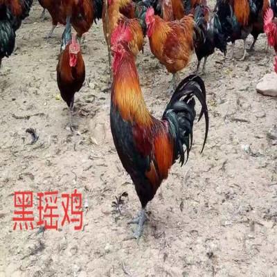 广西鸡苗 鸡苗养殖场  供应鸡苗厂家 量大从优