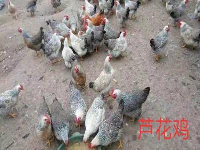 快大黄鸡 红黑瑶鸡 五黑蛋鸡 厂家销售