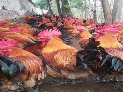 厂家供应买鸡苗质量保障 芦花鸡 黄花鸡苗