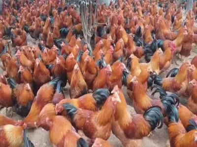 鸡苗出售 草鸡苗出售批发 厂家直销