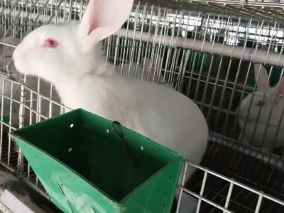 广西大型肉兔养殖场繁殖兔培育基地优质公母兔出售