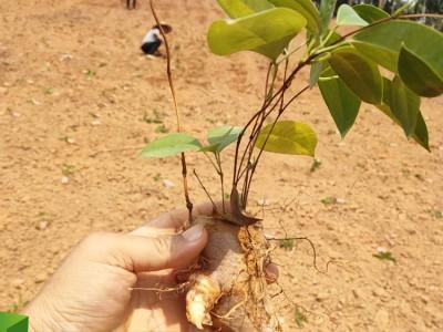 福建土茯苓苗 价格优惠 提供土茯苓苗种植栽培技术