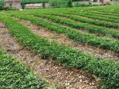 广西牛大力种苗 大、中、小叶牛大力种苗 批发供应商