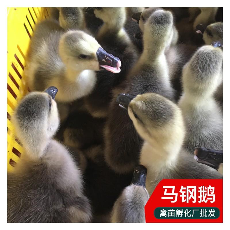 广东马钢鹅苗禽苗市场 鹅苗批发 销售大型鹅苗 基地供应