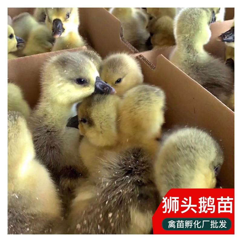 汕头狮头鹅苗批发 重庆鹅苗市场 优质大白鹅价格 包打疫苗
