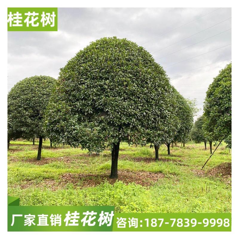 广西桂花树 直径10公分桂花树价格 四季桂八月桂价格