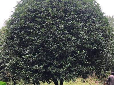桂花树基地 丛生桂花树 15公分桂花树大量批发