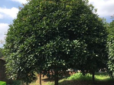 求购桂花树 大桂花树苗 20公分以上桂花树木