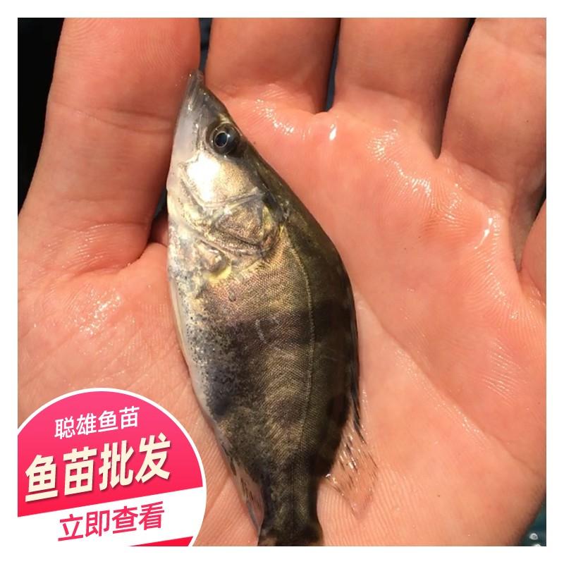 广西桂花鱼苗批发价 基地供应淡水鱼苗 优质桂花鱼苗
