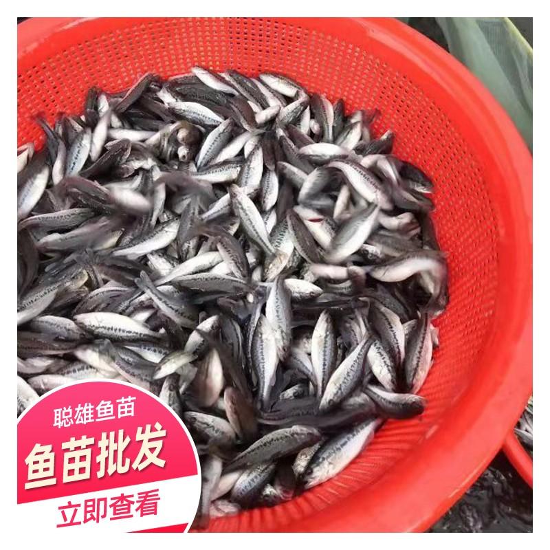 贵州鱼苗批发 养殖基地供应加州鲈鱼苗 加州鲈鱼苗价格