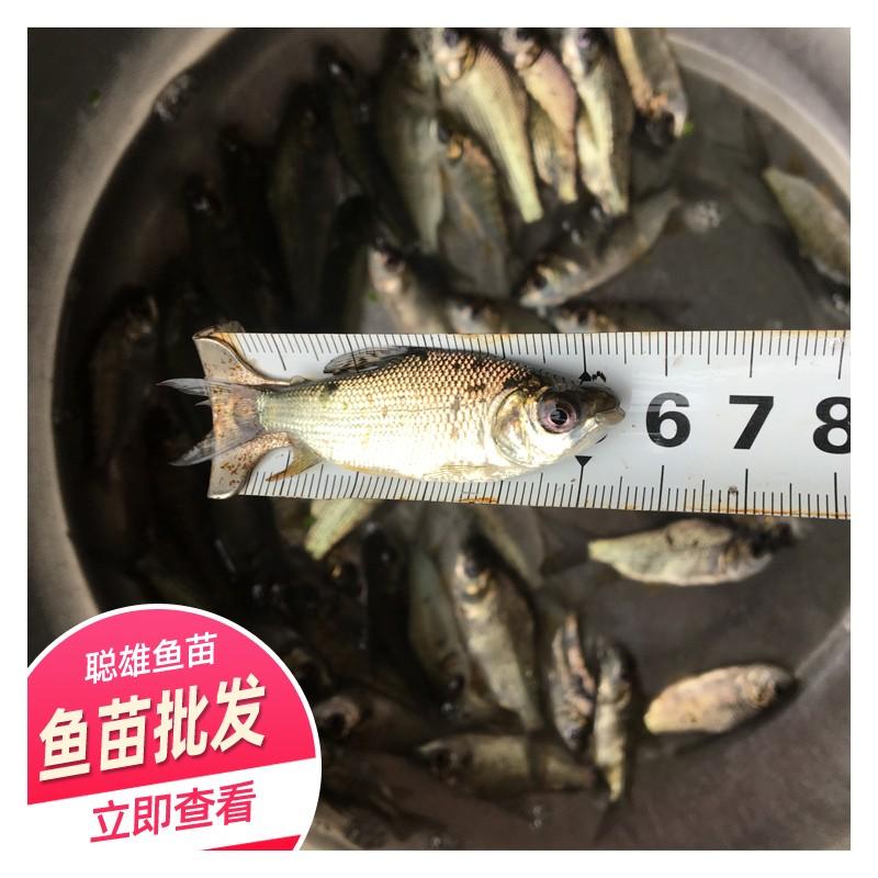 基地供应 快大巴西鲷鱼苗 送货上门 优质巴西鲷鱼苗