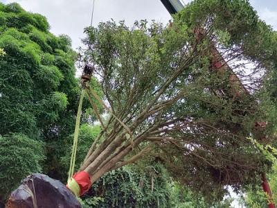 大树移植,大树移植价格,广西大树移植,南宁大树移植