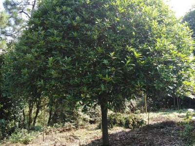 广西桂花树 精品桂花树 桂花树批发 直径15到30公分桂花树