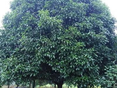 广西四季桂 桂花树批发 直径15到30公分桂花树  四季桂价格