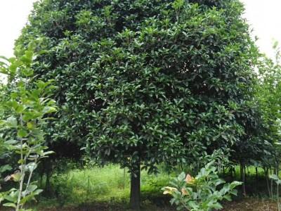 广西丹桂 精品丹桂 桂花树批发 直径15到30公分桂花树   丹桂价格