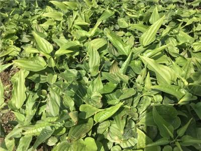 广西百部种苗  玉林百部种苗  百部种苗价格  百部种苗直销