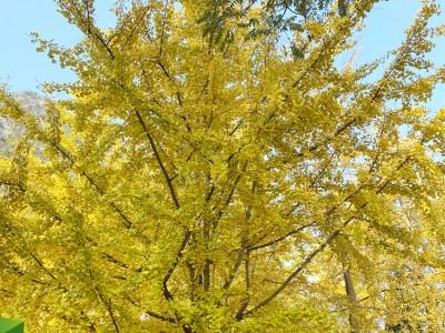 求购银杏树苗 银杏树批发 精品银杏树供应