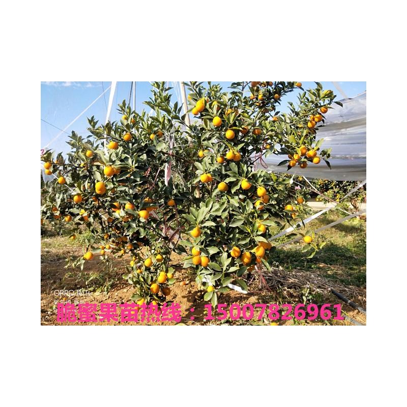 脆蜜金柑树苗 优良脆蜜金桔苗出售 根须发达 技术指导