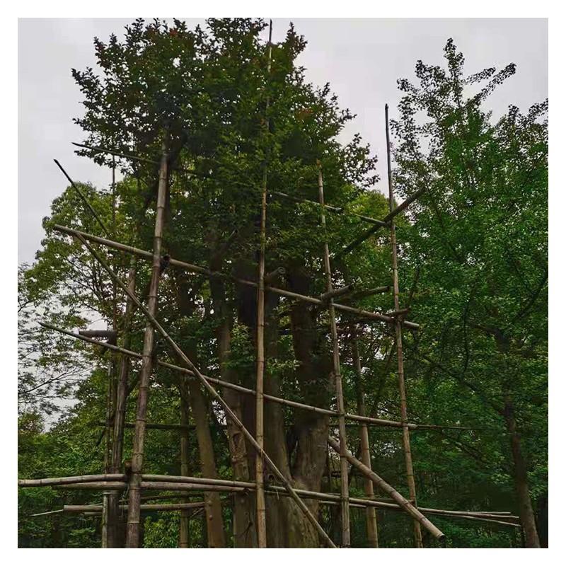 广西紫薇厂家价格 嫁接紫薇现货供应 树型优美 成活率高