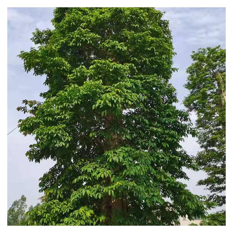 广西紫薇厂家价格 原生紫薇现货供应 40-200公分规格 树型优美 成活率高